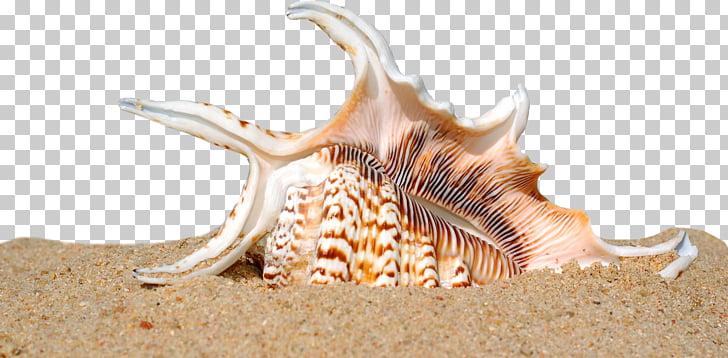 Seashell Shell beach Sand Mollusc shell, Shell Beach, white.