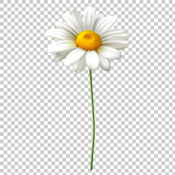 White Sunflower PNG Images Free Download searchpng.com.