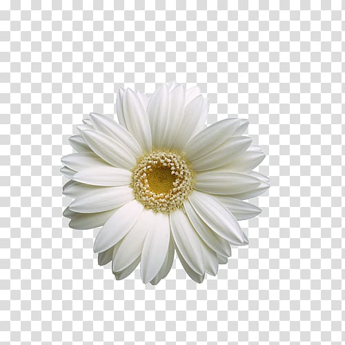 Flower , White sunflower transparent background PNG clipart.