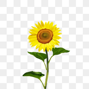 White Sunflower PNG Images.