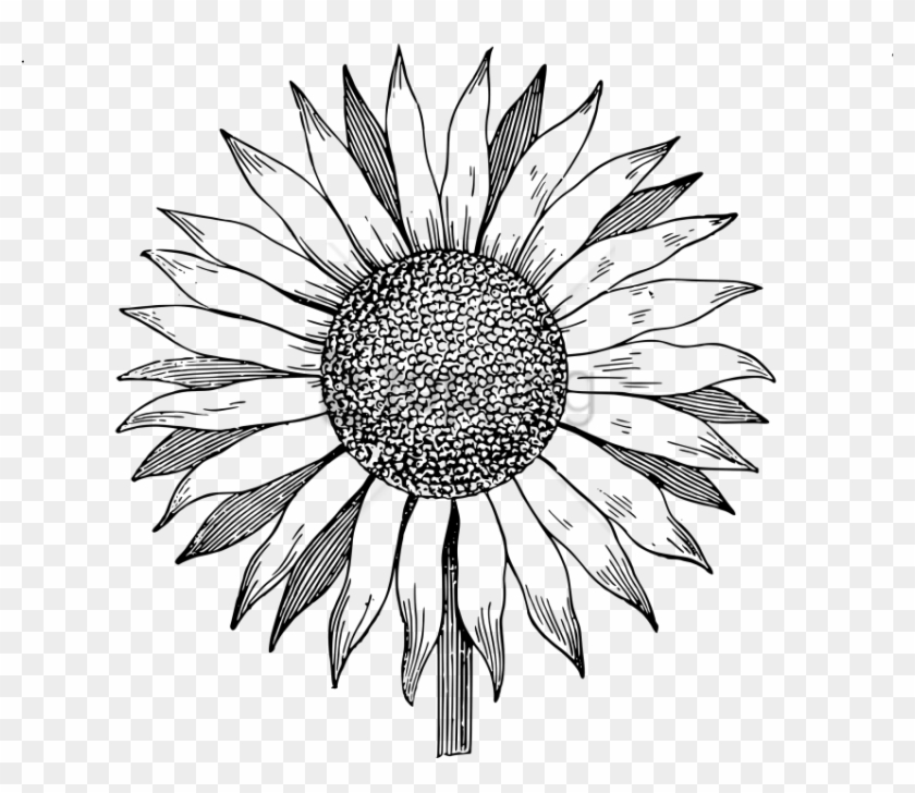 Free Png White Sunflower Png Png Image With Transparent.