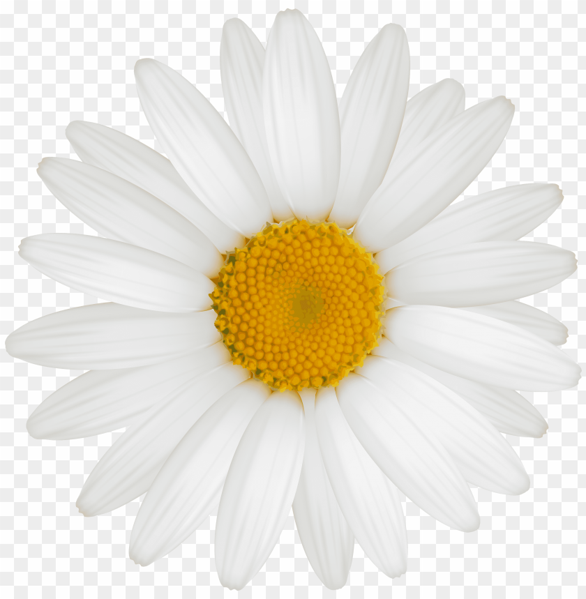 white sunflower png PNG image with transparent background.