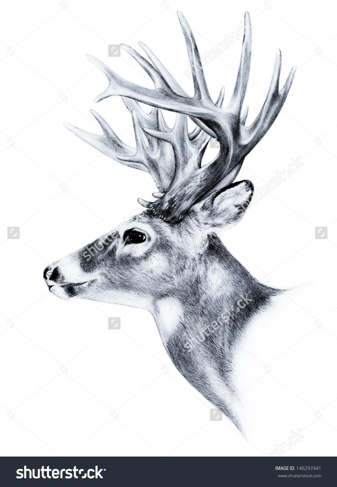 Big White Tail Deer Head Antler Stock Illustration 146297441.