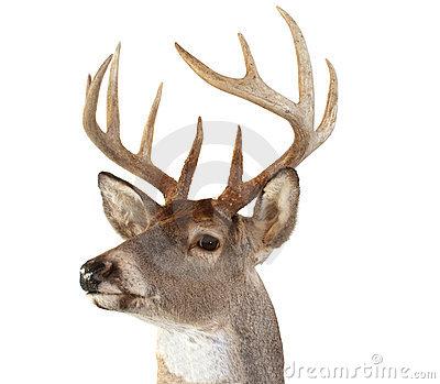 Whitetail Deer Head Looking Left Royalty Free Stock Image.