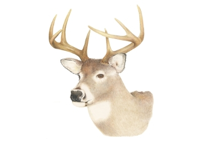 White Tailed Deer Clipart.