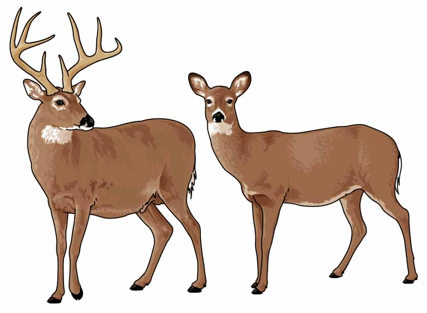 deer clipart whitetail tailed tail graphics clip buck animals cliparts wilderness library transparent clipground collection webstockreview favorites
