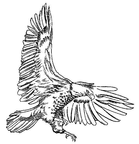 Wedge Tailed Eagle Drawing.