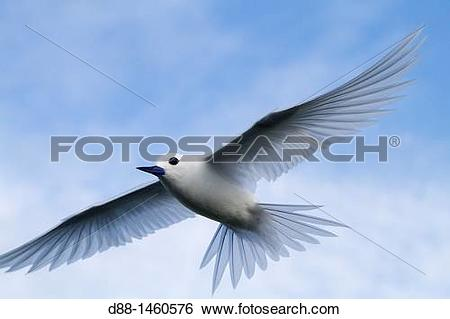 Stock Images of Midway , Sand Island , White Tern Gygis alba. d88.