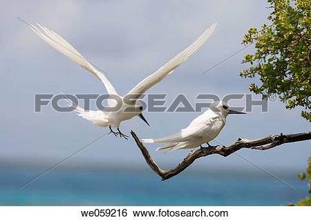 Stock Images of White Tern, Bird Island. Tikehau. Tuamotu.