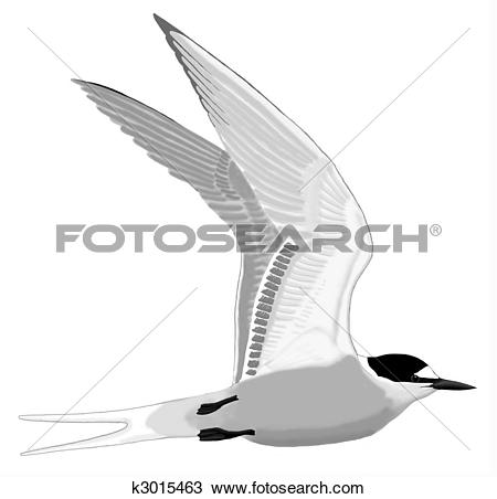 Drawing of Aleutian Tern k3015463.