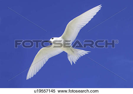 Stock Image of Adult white tern (Gygis alba), Midway Atoll, Hawaii.