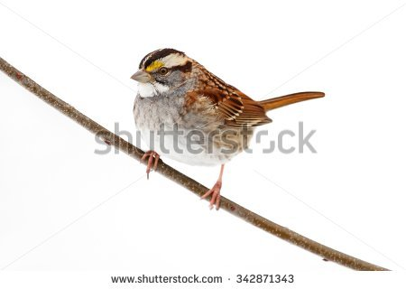 White Throated Sparrow Stock Photos, Royalty.