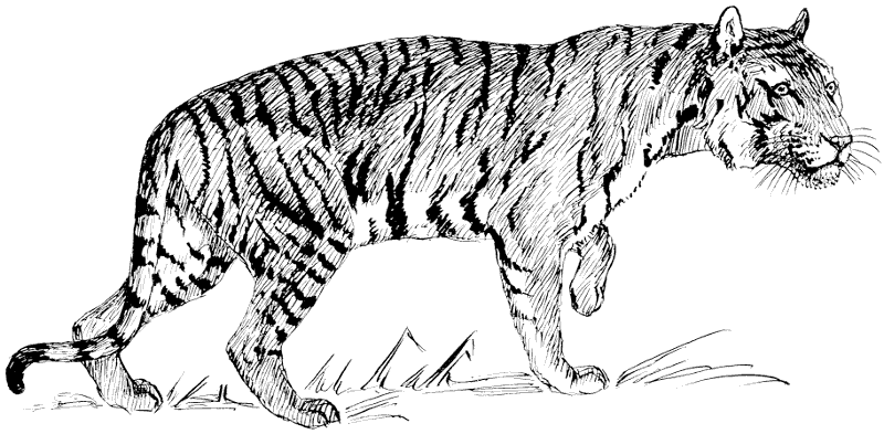 Free Black and White Tiger Clipart, 1 page of Public Domain Clip Art.