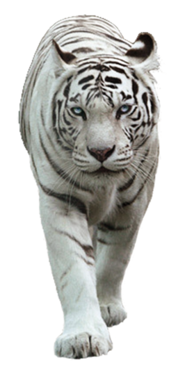 White Tiger PNG Picture.
