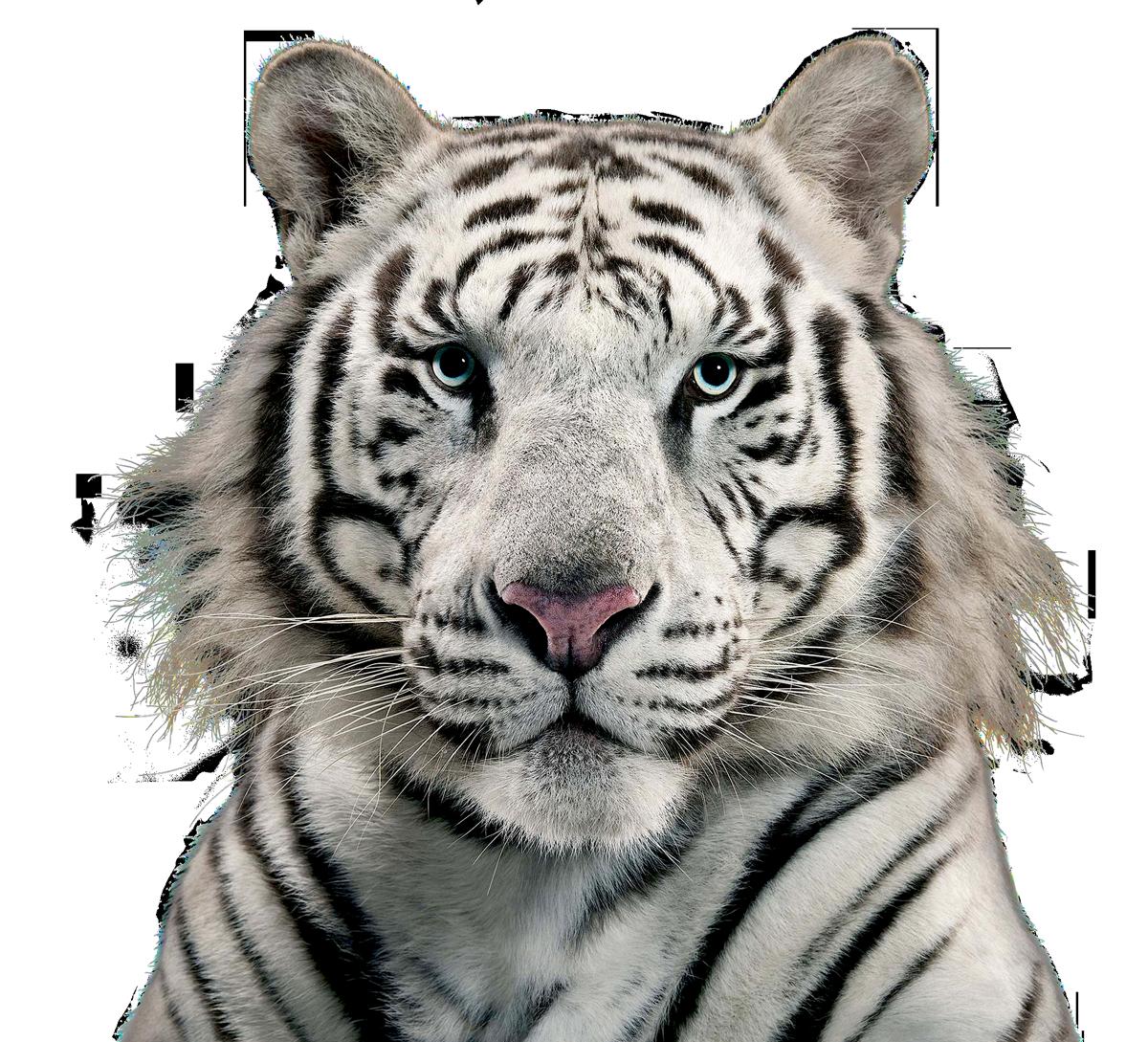 White Tiger PNG Image.