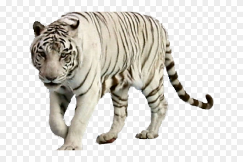 White Tiger Png Transparent Images.