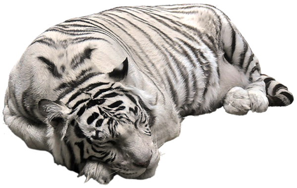 White Tiger PNG Pictute.