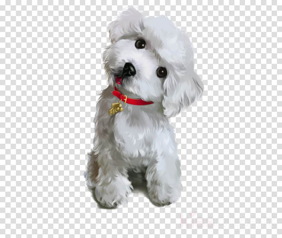dog white toy poodle puppy maltese clipart.