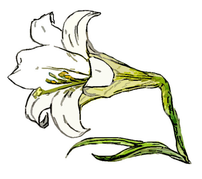 Easter Lily 6: clip of pencil and coloured pencil drawing