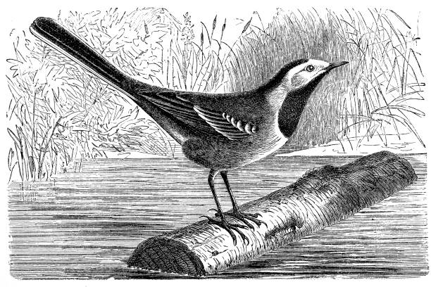 Antique Illustration Of White Wagtail Motacilla Alba Clip Art.