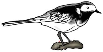 Bird Clipart Pied Wagtail, Echo's Free Bird Clipart,British Bird.
