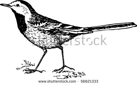 White Wagtail Stock Photos, Royalty.