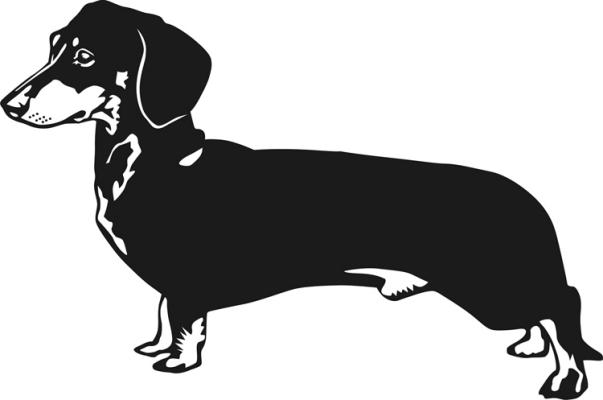 Dachshund black and white.