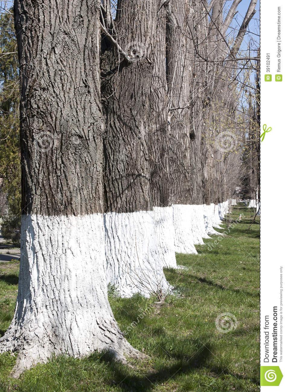 Whitewashed Trees.