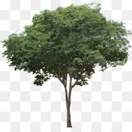 Fig Tree PNG.