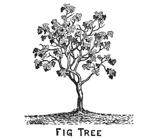 Fig Tree Clipart Black And White.