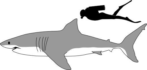 Great white shark clip art.