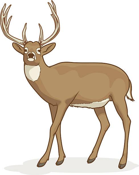 Best Whitetail Deer Illustrations, Royalty.