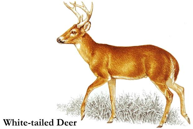 Whitetail deer clip art.