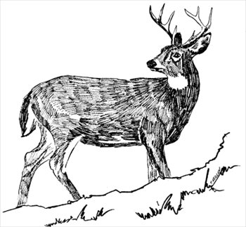 Whitetail Deer Free Clipart.