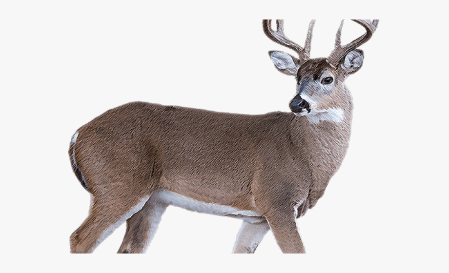 White Tailed Deer Clipart Transparent Background.
