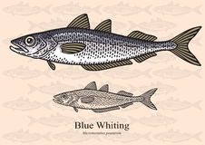 Whiting Stock Illustrations.
