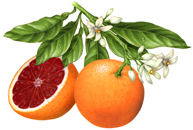 Blood orange clipart.