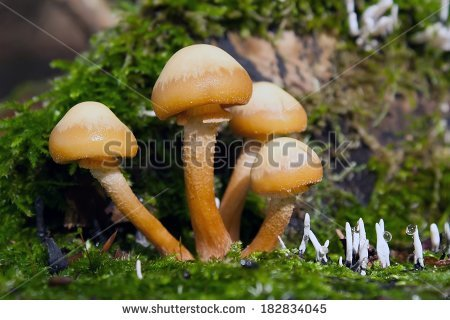 """nameko Mushrooms"" Stock Photos, Royalty."
