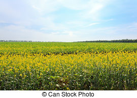 Stock Photo of Camomile flowers on wide field.