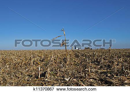 Picture of Solitary cornstalk in wide field k11370867.