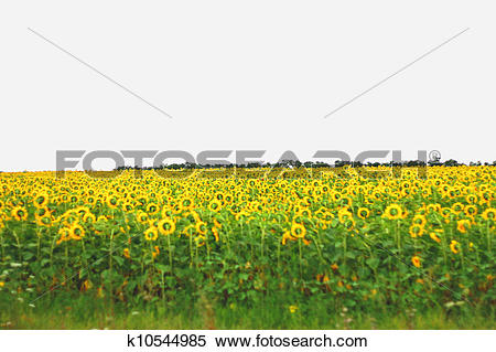 Stock Image of Wide field of sunflowers. The Summertime landsape.