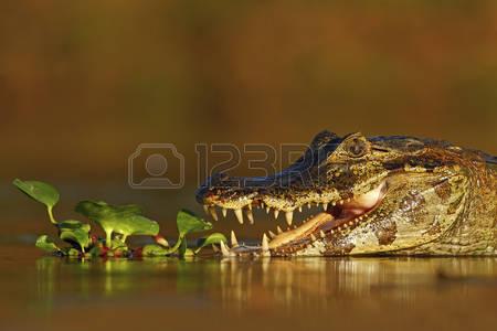 Cayman Alligator Stock Photos Images. 594 Royalty Free Cayman.