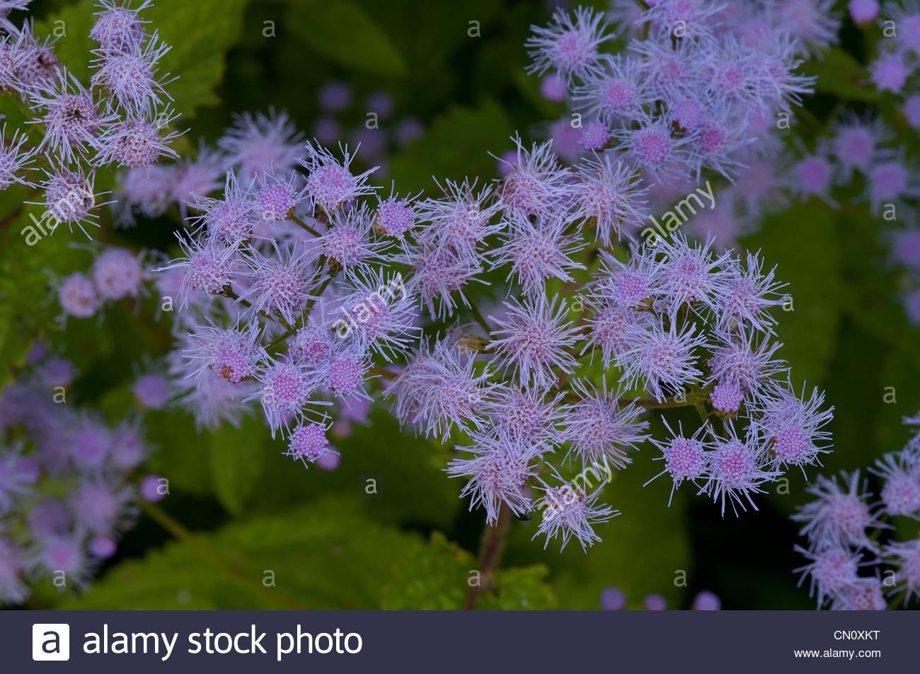 Mist Flower, Blue Bonnett, Wild Ageratum, Eupatorium Coelestinum.