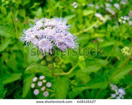 "ageratum Houstonianum"" Stock Photos, Royalty."