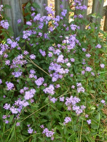 Blue Mistflower, Wild Ageratum, Hardy Ageratum, Blue Boneset.