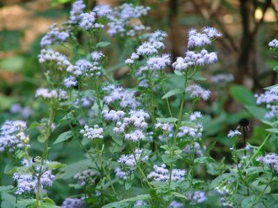 Conoclinium coelestinum (Asteraceae) Wild Ageratum, Mistflower A.