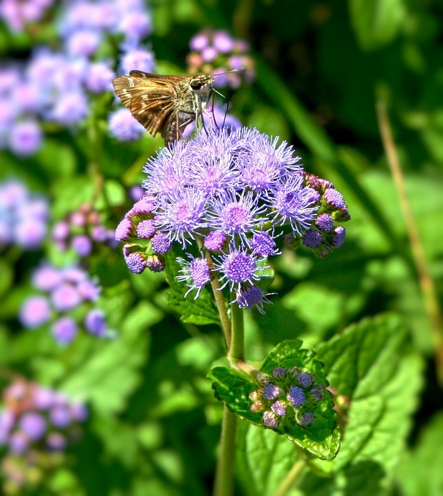 Free photo: Blue Mist Flowers, Wild Ageratum.