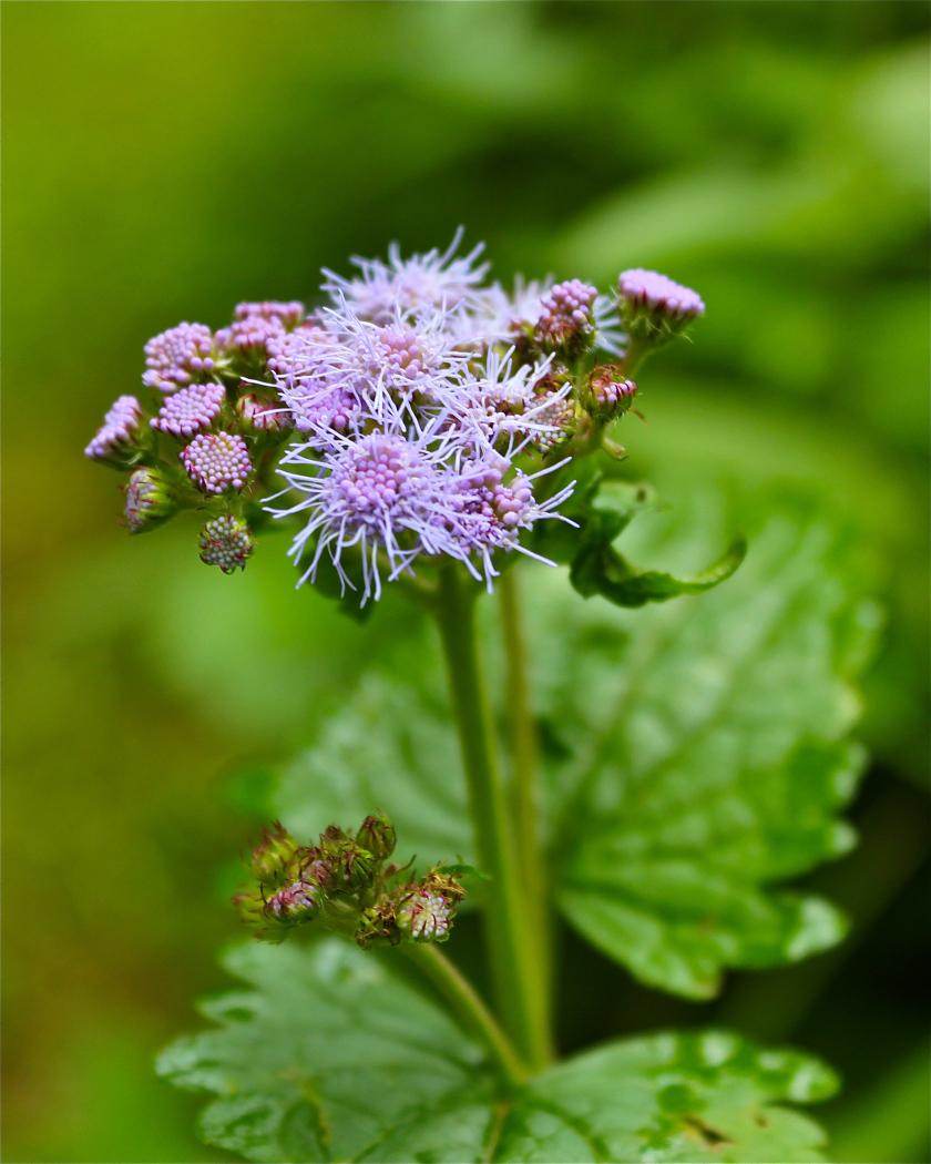 Blue Mist Flower or Wild Ageratum.