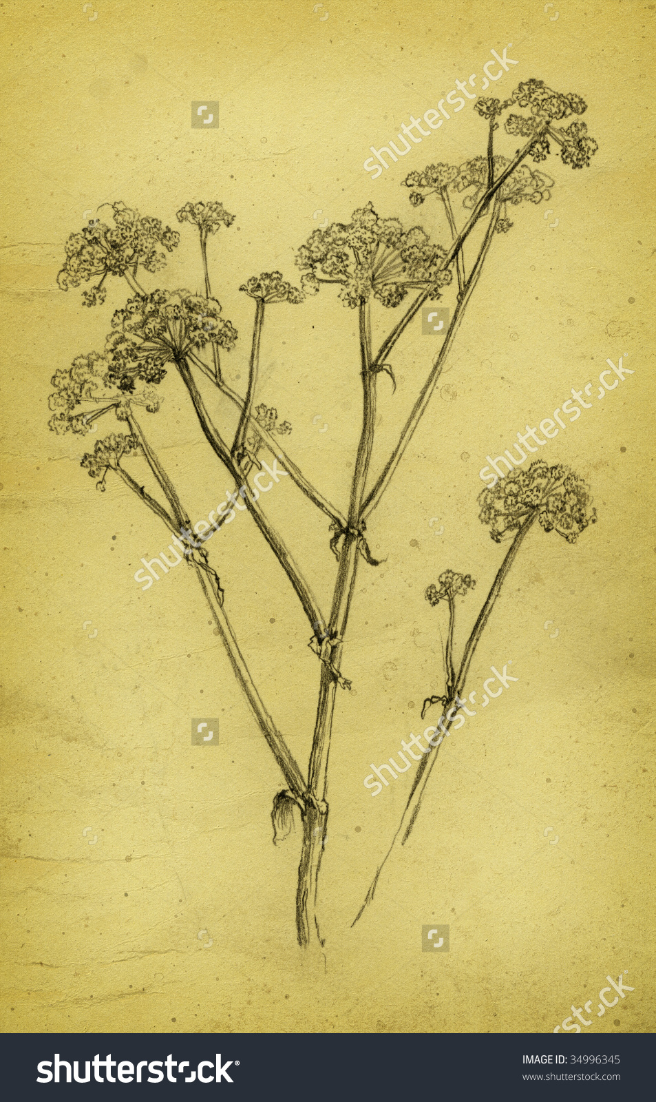 The Plant. Wild Angelica. Made By Pencil On Paper. Stock Photo.