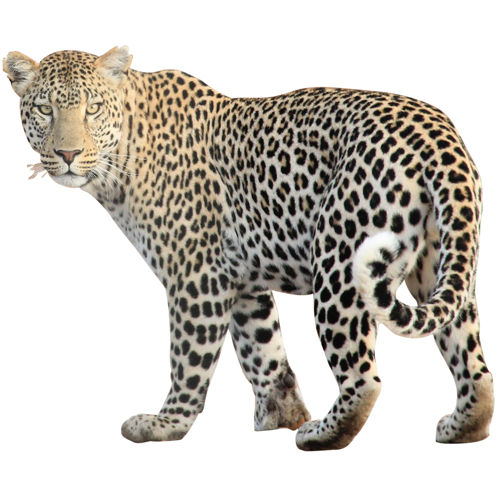 Wild Animals PNG Transparent Wild Animals.PNG Images..
